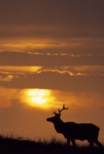 USA, California, Sunset, Tule Elk, Point Reyes National Seashore by Danita Delimont