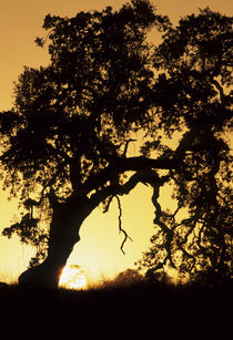 USA, California, Oak Tree, Sunset, Pinnacles National Monument by Danita Delimont