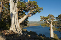 Juniper Trees above Echo Lake, Sierra Nevada Mountains by Danita Delimont