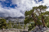 Sierra Juniper and Evergreen Trees above Tamarack Lake, Sier... by Danita Delimont