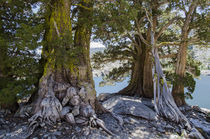 Sierra Juniper Trees and Ralston Lake, Desolation Wilderness... von Danita Delimont