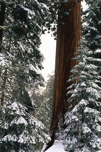 USA, California, Sequoia National Park, Giant Forest, Giant ... by Danita Delimont