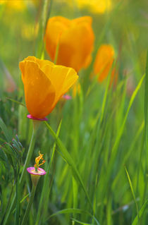 California golden poppies in a green field von Danita Delimont