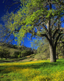 Oak Trees & Wildflowers by Danita Delimont