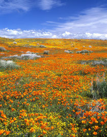 California Poppy Reserve by Danita Delimont