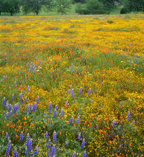 USA, California, Coast Range Mountains, Douglas lupine, gold... von Danita Delimont