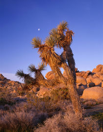 USA, California, Joshua Tree National Park, Joshua tree, moo... by Danita Delimont