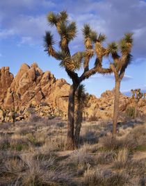 USA, California, Joshua Tree National Park, Joshua trees and... von Danita Delimont