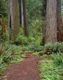 USA, California, Prairie Creek Redwoods State Park, Trail le... by Danita Delimont