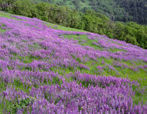 USA, California, Redwood National Park, Spring meadow of riv... by Danita Delimont
