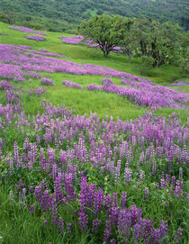 USA, California, Redwood National Park, Riverbank lupine and... by Danita Delimont