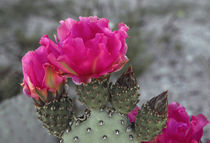Beavertail cactus in bloom, Anza-Borrego Desert State Park, ... by Danita Delimont
