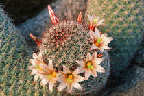 Fishhook cactus in bloom, Anza-Borrego Desert State Park, Ca... by Danita Delimont