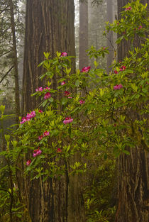 Rhododendrons blooming with Coast Redwood trees in Lady Bird... von Danita Delimont