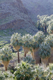 USA, California, Palm Springs, Indian Canyons by Danita Delimont