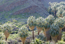 USA, California, Palm Springs, Indian Canyons von Danita Delimont