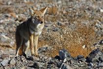Coyote of Death Valley von Danita Delimont