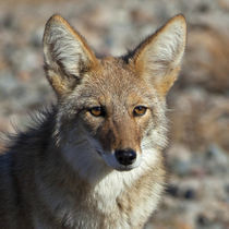 Coyote of Death Valley by Danita Delimont
