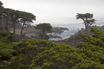 Monterey Cypress Trees by Danita Delimont