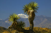 Joshua Trees, Key's View, San Gorgonio Mountain, Joshua Tree... by Danita Delimont