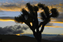 Sunset, Joshua Tree National Park, California, USA von Danita Delimont