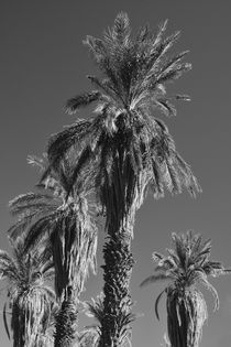 Date Palms, Furnace Creek, Death Valley National Park, Calif... by Danita Delimont