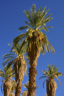 Date Palms, Furnace Creek, Furnace Creek Golf Course, Death ... von Danita Delimont
