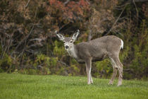 Mule Deer Doe on the Lawn at Mono County Park, Mono Lake, California by Danita Delimont