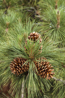 Eastern Sierra Pine and new cones at Oh-Ridge Campground, Ju... by Danita Delimont