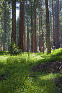 Sequoia National Park von Danita Delimont
