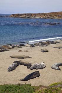 Elephant Seals, Piedras Blancas von Danita Delimont