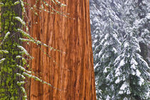 California, Giant Sequoia in winter, Giant Forest, Sequoia N... von Danita Delimont