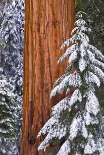 California, Giant Sequoia in winter, Giant Forest, Sequoia N... by Danita Delimont