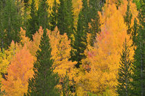 Fall aspens and pines along Bishop Creek, Inyo National Fore... by Danita Delimont
