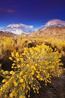 Dawn light on Rabbitbrush and the Sierra crest from Buttermi... by Danita Delimont