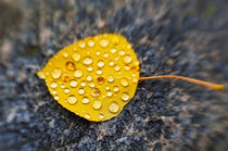 Fall aspen leaf detail, Inyo National Forest, Sierra Nevada ... by Danita Delimont