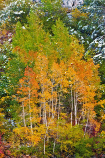 Fall color and fresh snow at Lake Sabrina, Inyo National For... von Danita Delimont