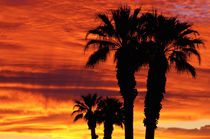 Silhouetted palms at sunrise, Anza-Borrego Desert State Park, Usa by Danita Delimont