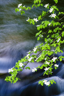 Mountain Dogwood above the Merced River, California, Usa von Danita Delimont