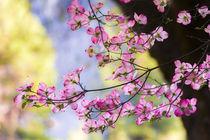Pink Dogwood, California, Usa by Danita Delimont