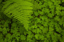 Redwood sorrel with lady fern, redwoods forest, Humboldt Red... by Danita Delimont