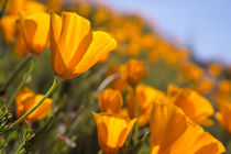 California Poppies, California Central Coast near Paso Robles von Danita Delimont