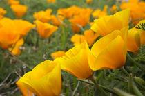 California poppies in Montana de Oro State Park, Los Osos, C... von Danita Delimont