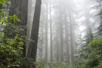 Lady Bird Johnson Grove, Prairie Creek Redwoods State Park, ... von Danita Delimont