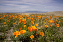 California poppies in bloom, Lancaster, California von Danita Delimont