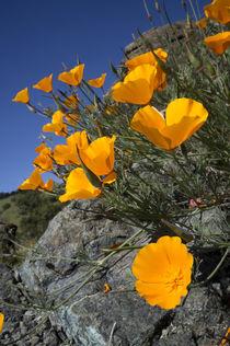 California poppies, California Central Coast, near Paso Robl... by Danita Delimont