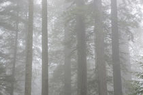 Redwoods, Lady Bird Johnson Grove in fog, Prairie Creek Redw... by Danita Delimont