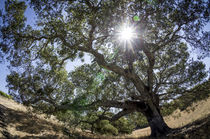 Spreading oak tree with sun, Sonoma, California by Danita Delimont