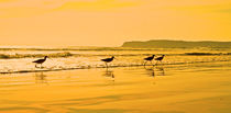 Shorebirds race the evening tide on a California beach. by Danita Delimont