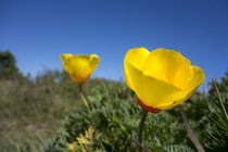 Bright yellow California Poppy against very blue sky by Danita Delimont